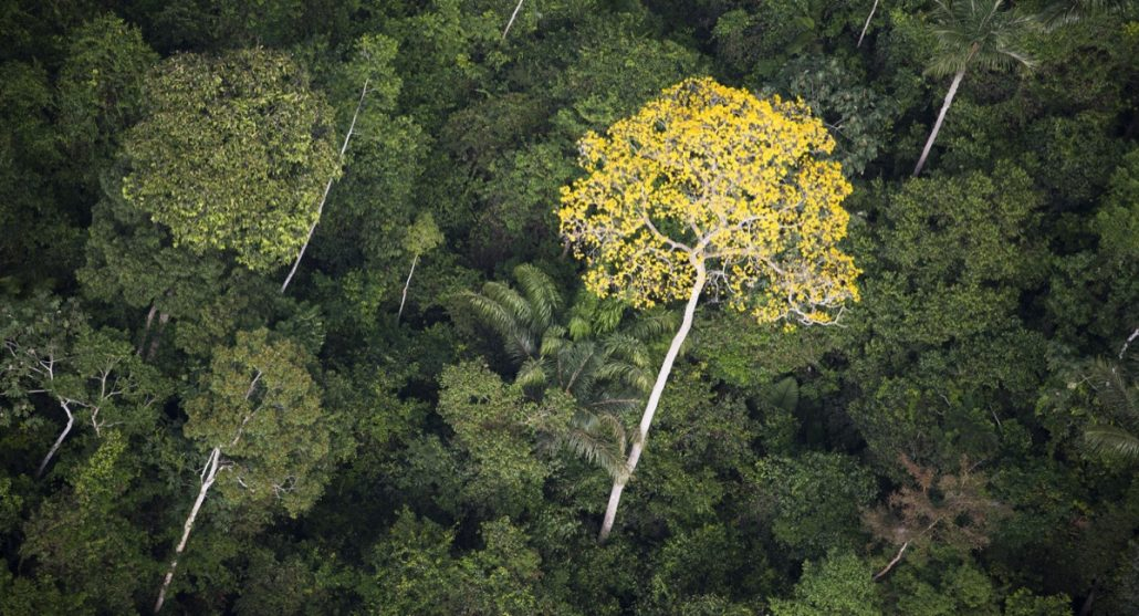 Ipe in Brazilian Rainforest